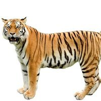 Giant Realistic Flying Tiger