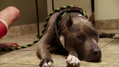 Pit Bulls and Parolees - 06x04 Standing Strong