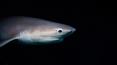 Image result for sharetv.com sixgill shark