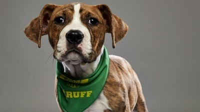 Pit Bulls and Parolees - 11x08 Most Valuable Puppy