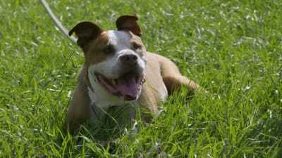 Pit Bulls and Parolees - 13x10 The Dogs That Stole Our Hearts