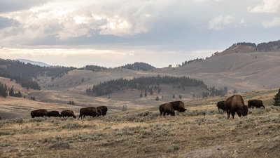 Yellowstone: America's First National Park - TV Special: Yellowstone: America's First National Park Screenshot