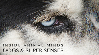 NOVA - 41x09 Inside Animal Minds: Dogs & Super Senses