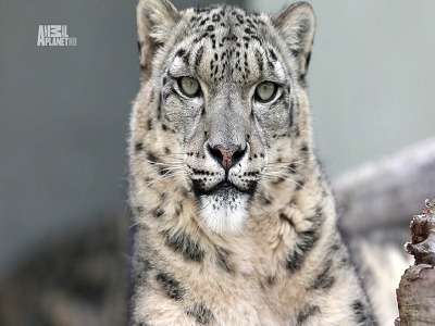Snow Leopards of Leafy London (UK) tv show photo