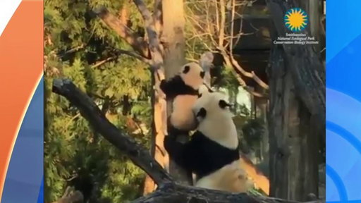 """""""NBC TODAY Show S0E0 Watch Bei Bei the Panda Cub Climb With Some Help from Mom"""""""