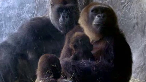 The Wildlife Docs S04E16 From One Baby Gorilla to Another