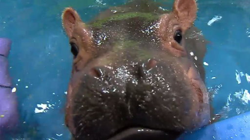 S0E0 Watch Fiona the Hippo Take a Dive!