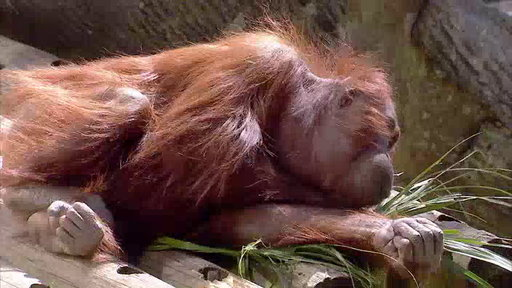 The Wildlife Docs S04E25 Great Apes and Great Rescues