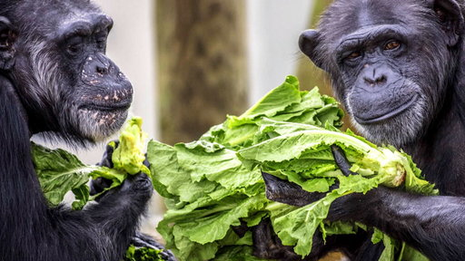 S0E0 These retired research chimps find new home at Louisiana sanctuary