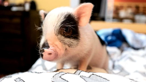 S0E0 Woman adopts adorable 6-month-old pig in heartwarming story